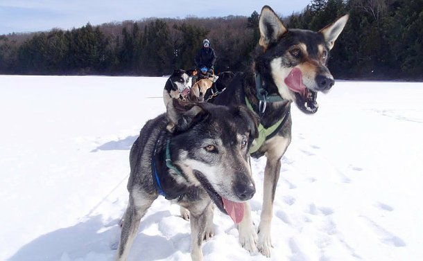 A group of dogs in foreground with a person standing and another sitting in a dogsled in background