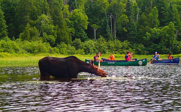 Lake shoreline with many trees, a moose in the water in the foreground and several canoes behind it