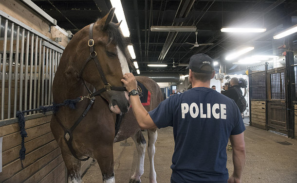 A man seen from the back, wearing a baseball hat and a t-shirt with a text Police, pets a horse inside the stables
