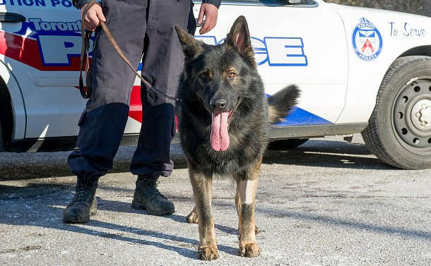 A German Shepherd on a leash in front of a TPS scout car